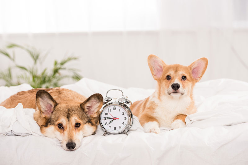 Dog Age Chart & Calculator: Dog to Human Years
