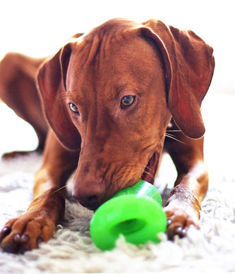 Dog Chewing a Bionic Bone Durable Tough Fetch and Chew Toy