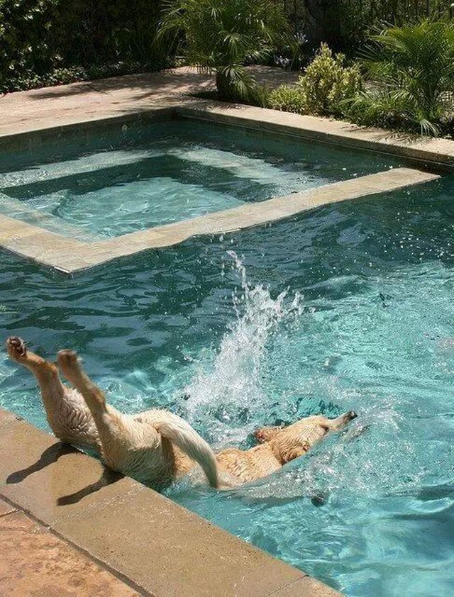 Awkward Labrador in Pool