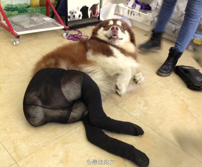 Awkward Cross-dressing dog